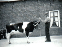 flearen-28-04-1959-looyenga-met-koe
